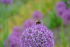 Manosee la abeja en una flor púrpura del bulbo del allium Imagenes de archivo