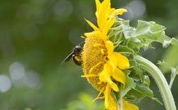 Manosee la abeja en una flor para el néctar Imagen de archivo libre de regalías