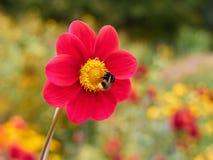 Manosee la abeja en una flor roja de la dalia con un fondo borroso Imagenes de archivo