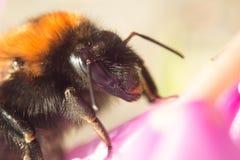 Manosee la abeja en una flor rosada Imagenes de archivo