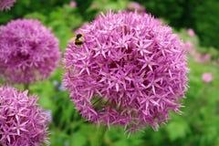 Manosee la abeja en una flor rosada redonda Fotografía de archivo libre de regalías