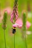 Manosee la abeja en una flor salvaje Imagenes de archivo