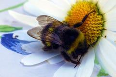 Manosee la abeja en una margarita Foto de archivo libre de regalías
