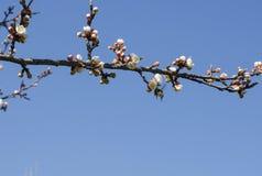 Manosee la abeja en una rama floreciente del albaricoque Imagen de archivo libre de regalías