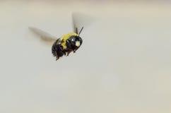 Manosee la abeja en vuelo Imágenes de archivo libres de regalías