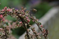 Manosee la abeja en vuelo Fotografía de archivo