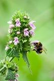 Manosee la abeja está en la flor. Imagen de archivo libre de regalías