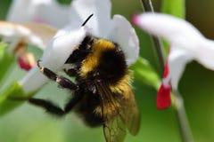 Manosee la abeja las flores calientes de polinización de un salvia de los labios Fotografía de archivo libre de regalías