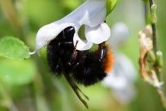 Manosee la abeja las flores calientes de polinización de un salvia de los labios Foto de archivo
