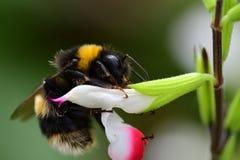 Manosee la abeja las flores calientes de polinización de un salvia de los labios Imagen de archivo