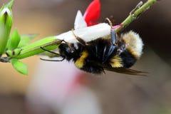 Manosee la abeja las flores calientes de polinización de un salvia de los labios Fotografía de archivo