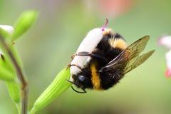 Manosee la abeja las flores calientes de polinización de un salvia de los labios Imagenes de archivo