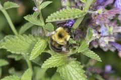 Manosee la abeja nectaring en las flores de la menta en Windsor del sur, Connectic Imagenes de archivo