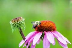 Manosee la abeja polinating el primer rosado de la flor Fotografía de archivo libre de regalías