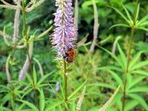 Manosee la abeja polinating la flor salvaje Foto de archivo libre de regalías