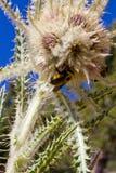 Manosee la abeja poliniza la flor en verano de las montañas de Colorado Foto de archivo libre de regalías