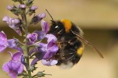 Manosee la abeja poliniza las flores púrpuras salvajes Fotografía de archivo libre de regalías