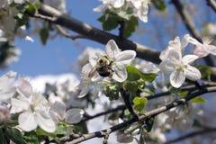 Manosee la abeja Pollenating Foto de archivo