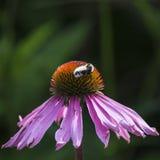 Manosee la abeja pollenating en la flor del cono del pallida del echinacea en Summe Imagen de archivo