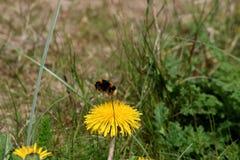 Manosee la abeja Pollenating una flor del diente de león Fotografía de archivo libre de regalías