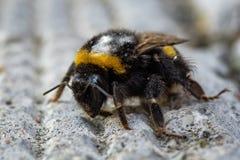 Manosee la abeja, primer foto diaria Foto de archivo