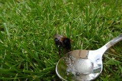Manosee la abeja que bebe el agua azucarada de una cuchara Fotos de archivo libres de regalías