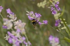 Manosee la abeja que busca el polen o el néctar Foto de archivo libre de regalías