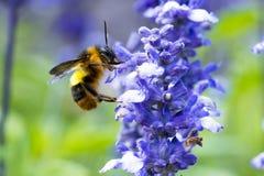 Manosee la abeja que chupa el néctar Fotografía de archivo