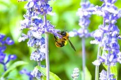 Manosee la abeja que chupa el néctar de flores Fotografía de archivo