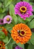 Manosee la abeja que come de una flor anaranjada El fondo es verde y rosado Fotos de archivo
