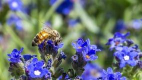 Manosee la abeja que cosecha el polen de la pequeña flor azul en jardín botánico Fotos de archivo libres de regalías