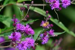 Manosee la abeja que descansa sobre las flores Imagen de archivo