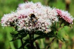 Manosee la abeja que descansa sobre una flor salvaje Foto de archivo libre de regalías