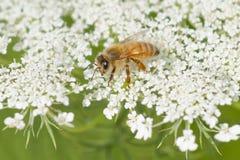 Manosee la abeja que disfruta de una floración del cordón de la reina Anne Fotos de archivo libres de regalías