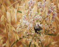 Manosee la abeja que equilibra en Wildflower Fotos de archivo