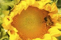 Manosee la abeja que forrajea en el disco de un girasol Foto de archivo libre de regalías