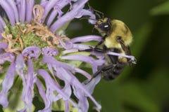 Manosee la abeja que forrajea en las flores de la lavanda del bálsamo de abeja, Connecticut Fotografía de archivo