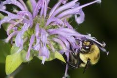 Manosee la abeja que forrajea en las flores de la lavanda del bálsamo de abeja, Connecticut Fotografía de archivo libre de regalías