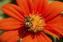Manosee la abeja que forrajea en una flor roja brillante de la dalia Imagenes de archivo