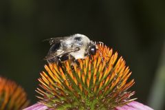 Manosee la abeja que forrajea para el néctar en coneflower púrpura en Connectic Imagen de archivo libre de regalías
