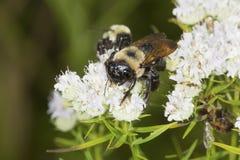 Manosee la abeja que forrajea para el néctar en las flores blancas de la menta de montaña Fotos de archivo