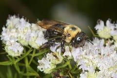 Manosee la abeja que forrajea para el néctar en las flores blancas de la menta de montaña Imágenes de archivo libres de regalías
