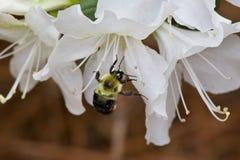 Manosee la abeja que forrajea para el polen en la floración de la azalea Fotografía de archivo libre de regalías