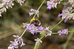 Manosee la abeja que forrajea para el polen o el néctar Imágenes de archivo libres de regalías