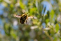 Manosee la abeja que hace frente a la cámara que asoma en el aire Imagen de archivo
