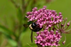 Manosee la abeja que poliniza en kalanchoe púrpura Imágenes de archivo libres de regalías