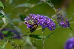 Manosee la abeja que poliniza en kalanchoe púrpura Imagenes de archivo