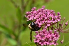 Manosee la abeja que poliniza la planta rosada Fotos de archivo libres de regalías