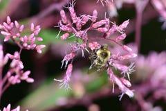 Manosee la abeja que poliniza la planta rosada Imagen de archivo libre de regalías