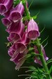 manosee la abeja que poliniza un guante púrpura del zorro Fotos de archivo
